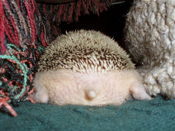 hedgehog_sides_02-600x450